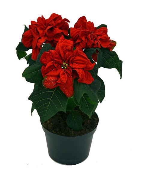 Lucka nr 24 - Dubbelblommande Julstjärna i en Blomstrande Julkalender