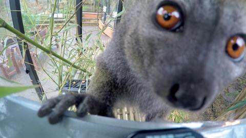 Lemuren Kitty