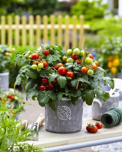 Körbärstomater för terrass och balkong - odla hemma