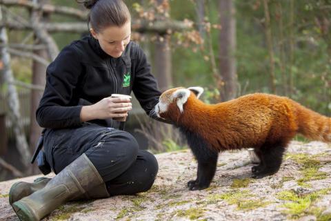 Kolmården uppmärksammar internationella dagen för röd panda
