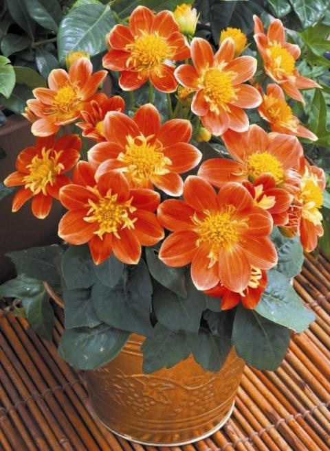 Goldalia 'Orange'