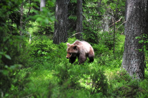 Pressmeddelande om Ole Fröberts forskning om björnar