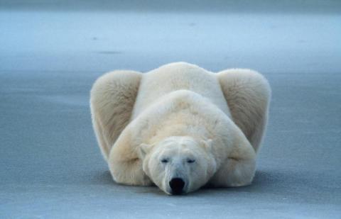 Im Reich der Eisbären – Eröffnung der Foto-Ausstellung von und mit Norbert Rosing – Einladung zum Foto-Presse-Termin