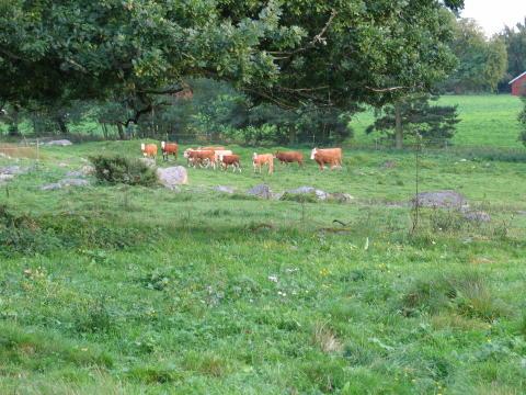 Lönsamma köttdjur i svenska hagar