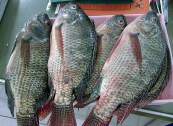 Continued tilapia demand pushing up prices