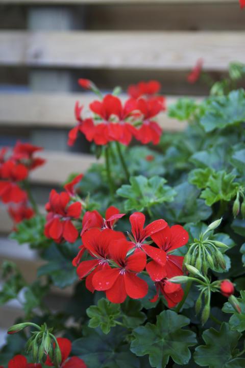 Hängpelargon Pelargonium peltatum Villetta-serien 'Bright Red'