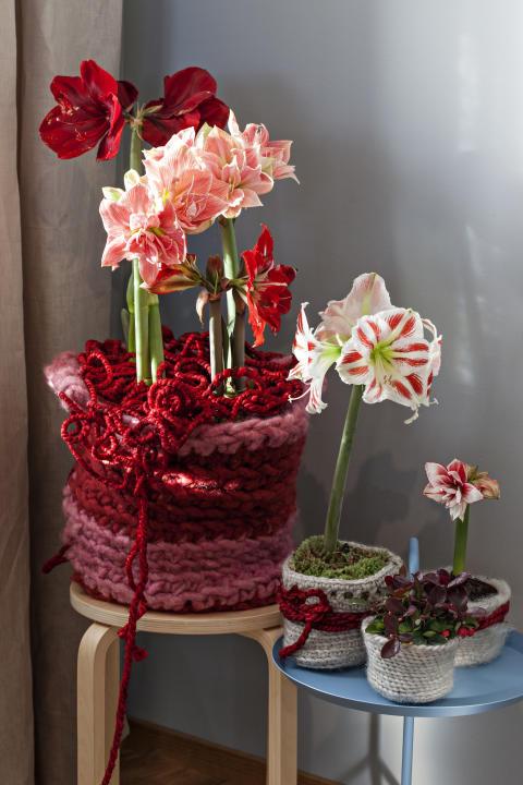 Amaryllisgrupp i olika röda, rosa och vita toner