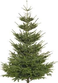 7 av 10 köper riktig julgran i år − men kungsgranen har utklassat den klassiska granen