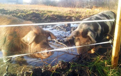 Miljöstipendium för grisjobb i Partille
