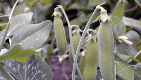 Kasviproteiini nyhtökaura tarjoaa vaihtoehdon jauhelihalle