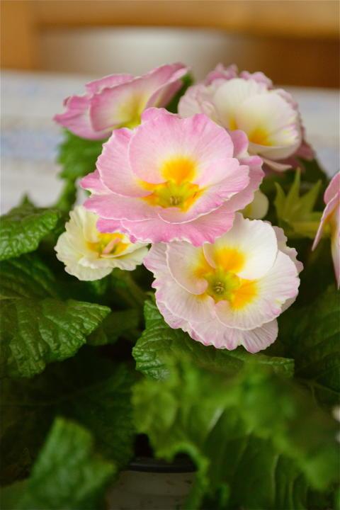 Primula lyser som små solar på köksbordet