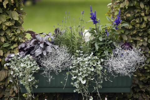 Balkonglåda med växter i blågrå nyanser.
