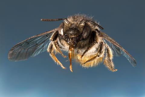 Död ved och blommande vägkanter viktiga för bin och steklar i ungskog