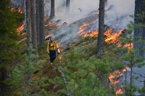 Idag har unik film om eldens betydelse för naturen världspremiär på naturum Dalarna