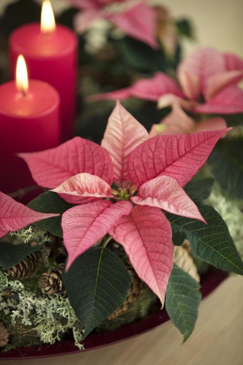 Julstämning med julstjärnor