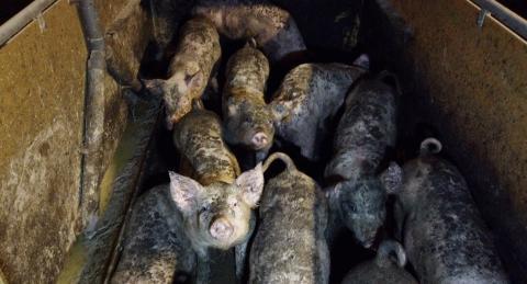 Nya chockbilder från svenska grisfarmer