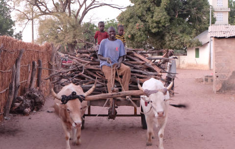 WTG-Gambia-Rinder-Karren