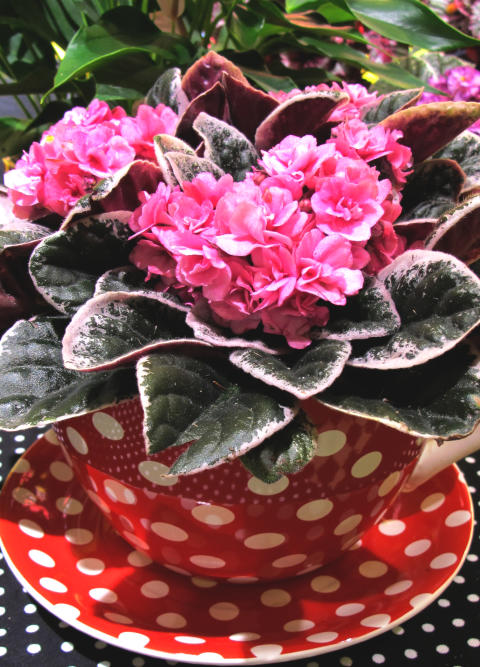Brokbladig saintpaulia