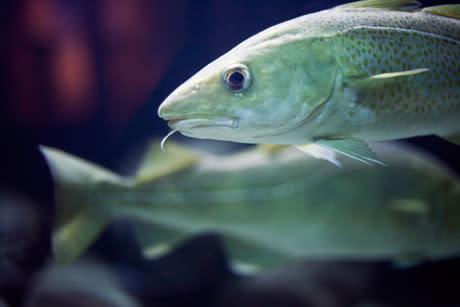 Fredning av torsk i Gullmarsfjorden