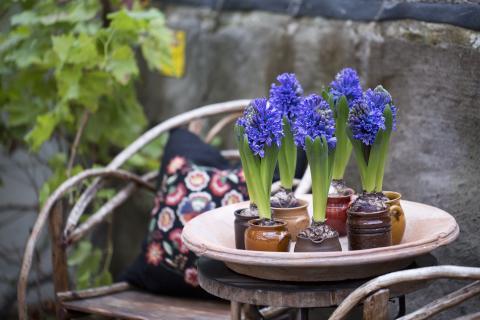 Svenska hyacinter
