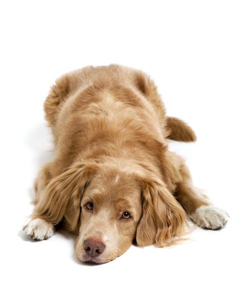 Tre ärftliga sjukdomar utforskade med hjälp av DNA från hundar