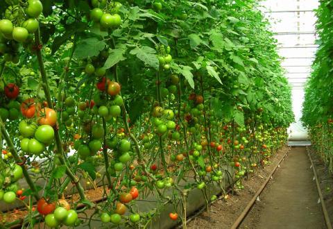 Ekologisk odling i växthus ökar