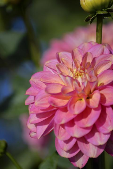 Dekorativdahlia 'Milena Fleur'