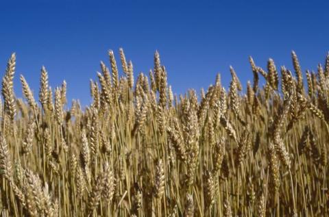 Ekologiska spannmålsskörden minskade med 38 procent