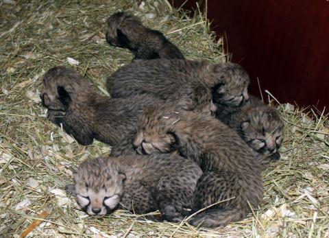Gepardungar 2010