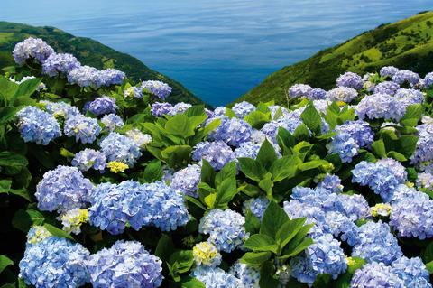 Fantastisk blomsterprakt på Azorene