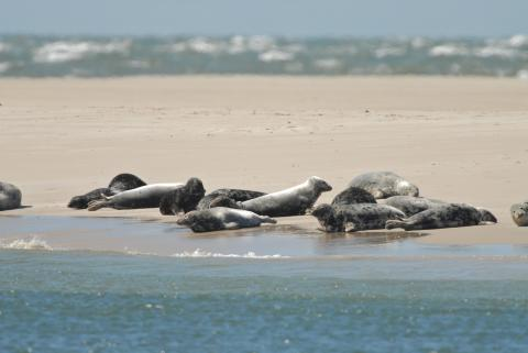 Seehunde und Kegerobben vor Sylt