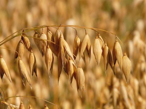 S.G. Niemiseltä kaksi uutta viljalajiketta vuoden 2017 kasvilajikeluetteloon