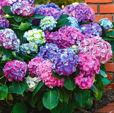 Hortensia som blommar i både blått och rosa på samma planta!