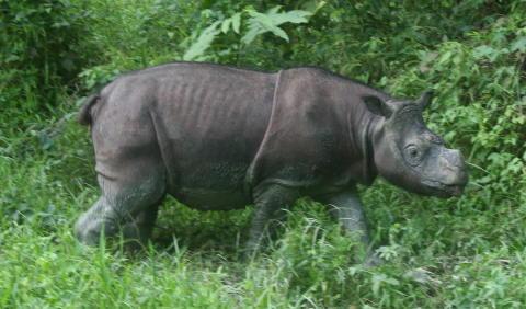 Malaysias sidste næsehornshan er død