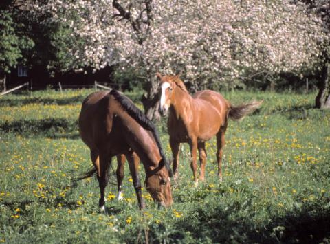 Drygt 25 procent av Sveriges hästar finns inom näringsverksamhet