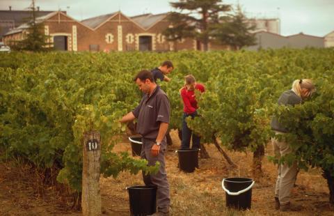 Innhøsting Coonawarra i Australia