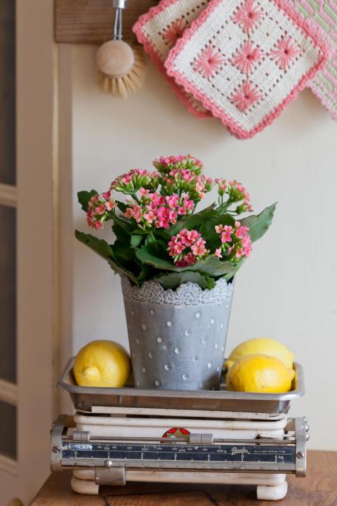Kalanchoe blossfeldiana, Höstglöd