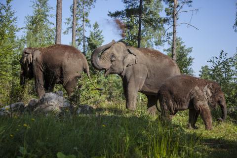 Kungliga elefanter väntar tillökning