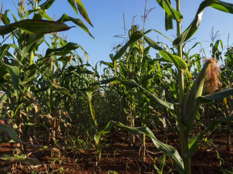 Improving the feedout quality of drought-stressed corn silage