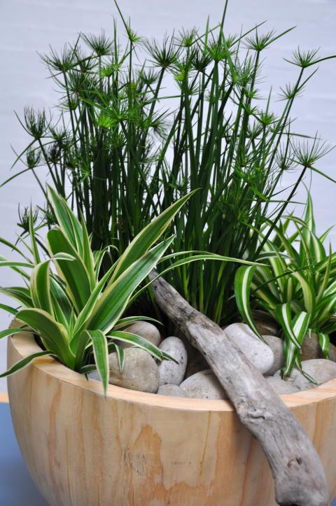 Flott bolle med en samplanteing av Papyrus, kypergress og grønnrenner, Chlorophytum