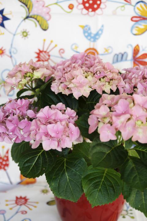 Månadens blomma februari 2009