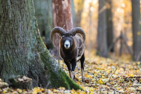 Muflon i Kosta Safaripark
