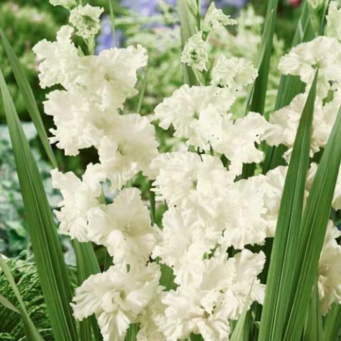 Gladiolus 'Snowy Ruffle'