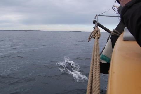 Delfin siktad från briggen Tre Kronor af Stockholm utanför Västervik bild 3