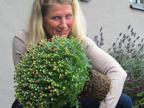Plantering av bollkrysantemum 1