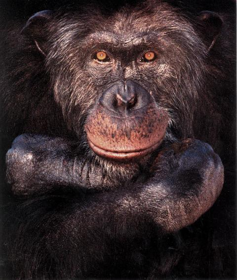 Schimpansen Santinos tavla såld på auktion i London