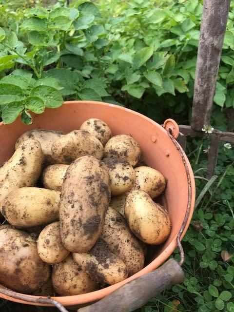 potatis (1)