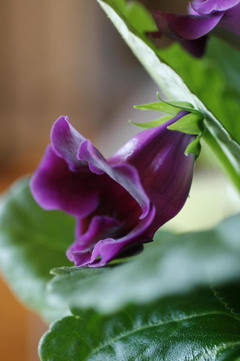 Gloxinia Sinningia speciosa Multibells-serien nära blå