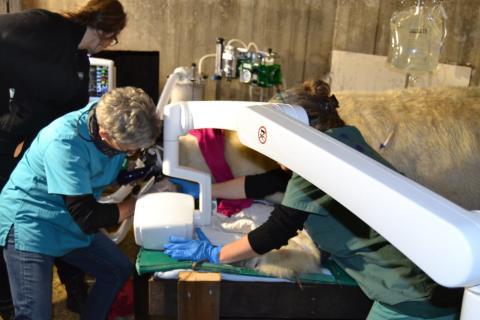 案例报告:芬兰北极熊救牙记