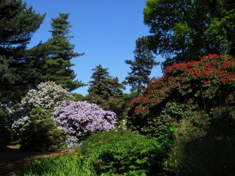 Rhododendrons bloom early in warmer weather